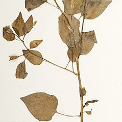 Leaves: Browallia americana. ~ By William and Linda Steere and the C.V. Starr Virtual Herbarium. ~ Copyright © 2019 William and Linda Steere and the C.V. Starr Virtual Herbarium. ~ Barbara Thiers, Director; bthiers[at]nybg.org ~ C.V. Starr Herbarium - NY Botanical Gardens