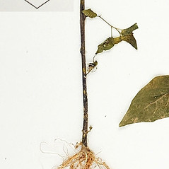 Stems: Browallia americana. ~ By William and Linda Steere and the C.V. Starr Virtual Herbarium. ~ Copyright © 2019 William and Linda Steere and the C.V. Starr Virtual Herbarium. ~ Barbara Thiers, Director; bthiers[at]nybg.org ~ C.V. Starr Herbarium - NY Botanical Gardens