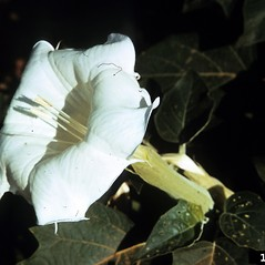 Flowers: Datura wrightii. ~ By Joy Viola. ~ Copyright © 2018 CC BY-NC 3.0. ~  ~ Bugwood - www.bugwood.org/