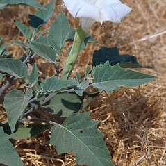 Flowers: Datura wrightii. ~ By Mark Renz. ~ Copyright © 2018 Mark Renz. ~ mrenz[at]wisc.edu ~ Robert W. Freckmann Herbarium, U. of Wisconsin-Stevens Point