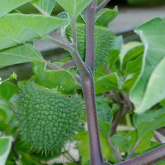 Stems: Datura wrightii. ~ By Jan Macario. ~ Copyright © 2018 CC BY-NC-SA 2.5. ~  ~ wildplantdatabase.net/