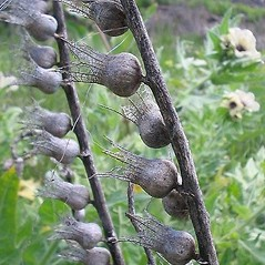 Fruits: Hyoscyamus niger. ~ By Sue Winterowd. ~ Copyright © 2018 Sue Winterowd. ~ Sue Winterowd, SCNWCB, weedboard[at]co.xtevens.wa.us ~ U. of Washington - WTU - Herbarium - biology.burke.washington.edu/herbarium/imagecollection.php
