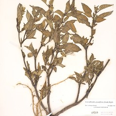 Plant form: Leucophysalis grandiflora. ~ By William and Linda Steere and the C.V. Starr Virtual Herbarium. ~ Copyright © 2019 William and Linda Steere and the C.V. Starr Virtual Herbarium. ~ Barbara Thiers, Director; bthiers[at]nybg.org ~ C.V. Starr Herbarium - NY Botanical Gardens