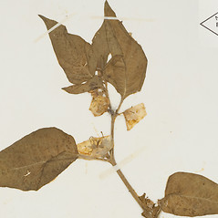 Leaves: Leucophysalis grandiflora. ~ By William and Linda Steere and the C.V. Starr Virtual Herbarium. ~ Copyright © 2017 William and Linda Steere and the C.V. Starr Virtual Herbarium. ~ Barbara Thiers, Director; bthiers[at]nybg.org ~ C.V. Starr Herbarium - NY Botanical Gardens