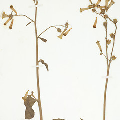 Plant form: Nicotiana langsdorffii. ~ By William and Linda Steere and the C.V. Starr Virtual Herbarium. ~ Copyright © 2018 William and Linda Steere and the C.V. Starr Virtual Herbarium. ~ Barbara Thiers, Director; bthiers[at]nybg.org ~ C.V. Starr Herbarium - NY Botanical Gardens