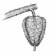 Fruits: Physalis grisea. ~ By Elizabeth Farnsworth. ~ Copyright © 2018 New England Wild Flower Society. ~ Image Request, images[at]newenglandwild.org