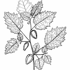 Plant form: Physalis grisea. ~ By Southern Illinois University Press. ~ Copyright © 2017 Southern Illinois University Press. ~ Requests for image use not currently accepted by copyright holder ~ Mohlenbrock, Robert H. 1981. The Illustrated Flora of Illinois, Flowering Plants, magnolias to pitcher plants. Southern Illinois U. Press, Carbondale and Edwardsville, IL. 288pp.