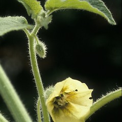 Flowers: Physalis heterophylla. ~ By Albert Bussewitz. ~ Copyright © 2020 New England Wild Flower Society. ~ Image Request, images[at]newenglandwild.org