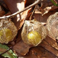 Fruits: Physalis heterophylla. ~ By Dawn Dentzer. ~ Copyright © 2020. ~ dawndentzer[at]gmail.com