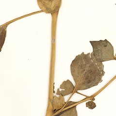 Stems: Physalis philadelphica. ~ By William and Linda Steere and the C.V. Starr Virtual Herbarium. ~ Copyright © 2018 William and Linda Steere and the C.V. Starr Virtual Herbarium. ~ Barbara Thiers, Director; bthiers[at]nybg.org ~ C.V. Starr Herbarium - NY Botanical Gardens
