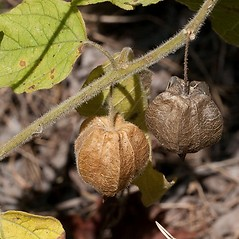 Fruits: Physalis pubescens. ~ By John Gwaltney. ~ Copyright © 2017 John Gwaltney. ~ southeasternflora.com ~ Southeastern Flora - www.southeasternflora.com/