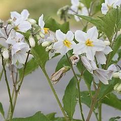 Flowers: Solanum carolinense. ~ By Arieh Tal. ~ Copyright © 2017 Arieh Tal. ~ http://botphoto.com/ ~ Arieh Tal - botphoto.com