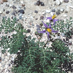 Flowers: Solanum citrullifolium. ~ By T.F. Niehaus. ~ Copyright © 2019 Courtesy of the Smithsonian Institution . ~ For permission and usage agreements: http://botany.si.edu/PlantImages ~ Courtesy of Smithsonian Institution, National Museum of Natural History, Department of Botany, Plant Image Collection; botany.si.edu/PlantImages/
