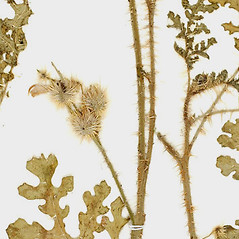 Stems: Solanum citrullifolium. ~ By William and Linda Steere and the C.V. Starr Virtual Herbarium. ~ Copyright © 2019 William and Linda Steere and the C.V. Starr Virtual Herbarium. ~ Barbara Thiers, Director; bthiers[at]nybg.org ~ C.V. Starr Herbarium - NY Botanical Gardens
