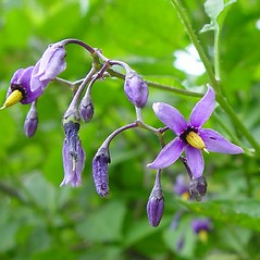 Flowers: Solanum dulcamara. ~ By Arthur Haines. ~ Copyright © 2017. ~ arthurhaines[at]wildblue.net
