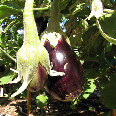Fruits: Solanum melongena. ~ By Kim Starr. ~ Copyright © 2018 CC BY 3.0. ~ starrimages[at]hear.org ~ Plants of Hawaii - www.hear.org/starr/images/?o=plants
