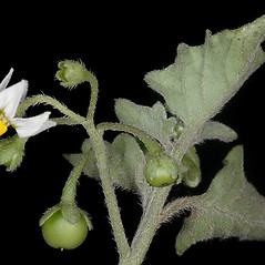 Fruits: Solanum physalifolium. ~ By Gerry Carr. ~ Copyright © 2018 Gerry Carr. ~ gdcarr[at]comcast.net ~ Oregon Flora Image Project - www.botany.hawaii.edu/faculty/carr/ofp/ofp_index.htm