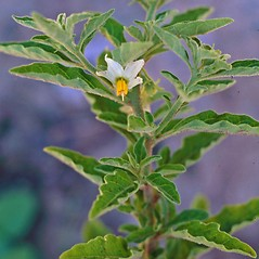 Plant form: Solanum pseudocapsicum. ~ By Charles Bryson. ~ Copyright © 2017 CC BY-NC 3.0. ~  ~ Bugwood - www.bugwood.org/