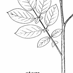 Stems: Solanum tuberosum. ~ By Southern Illinois University Press. ~ Copyright © 2017 Southern Illinois University Press. ~ Requests for image use not currently accepted by copyright holder ~ Mohlenbrock, Robert H. 1981. The Illustrated Flora of Illinois, Flowering Plants, magnolias to pitcher plants. Southern Illinois U. Press, Carbondale and Edwardsville, IL. 288pp.