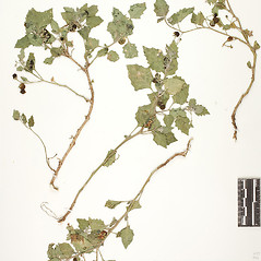 Plant form: Solanum villosum. ~ By William and Linda Steere and the C.V. Starr Virtual Herbarium. ~ Copyright © 2017 William and Linda Steere and the C.V. Starr Virtual Herbarium. ~ Barbara Thiers, Director; bthiers[at]nybg.org ~ C.V. Starr Herbarium - NY Botanical Gardens