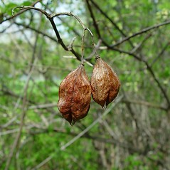 Fruits: Staphylea trifolia. ~ By Arthur Haines. ~ Copyright © 2018. ~ arthurhaines[at]wildblue.net