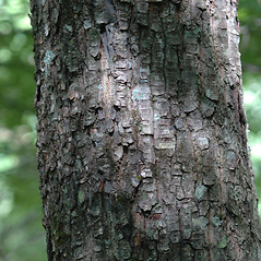 Bark: Halesia carolina. ~ By Chris Evans. ~ Copyright © 2018 CC BY-NC 3.0. ~  ~ Bugwood - www.bugwood.org/