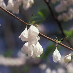 Flowers: Halesia carolina. ~ By Dorothy Long. ~ Copyright © 2018 New England Wild Flower Society. ~ Image Request, images[at]newenglandwild.org