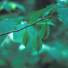 Fruits: Halesia carolina. ~ By John Lynch. ~ Copyright © 2018 New England Wild Flower Society. ~ Image Request, images[at]newenglandwild.org