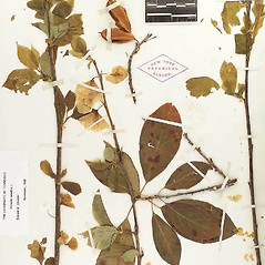 Plant form: Halesia carolina. ~ By William and Linda Steere and the C.V. Starr Virtual Herbarium. ~ Copyright © 2020 William and Linda Steere and the C.V. Starr Virtual Herbarium. ~ Barbara Thiers, Director; bthiers[at]nybg.org ~ C.V. Starr Herbarium - NY Botanical Gardens