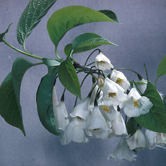 Leaves: Halesia carolina. ~ By Adelaide Pratt. ~ Copyright © 2020 New England Wild Flower Society. ~ Image Request, images[at]newenglandwild.org