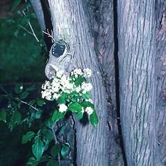 Bark: Symplocos paniculata. ~ By Arnold Arboretum. ~ Copyright © 2019 Arnold Arboretum. ~ Arnold Arboretum Horticultural Library, hortlib[at]arnarb.harvard.edu