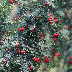 Fruits: Taxus baccata. ~ By Chris Evans. ~ Copyright © 2019 CC BY-NC 3.0. ~  ~ Bugwood - www.bugwood.org/