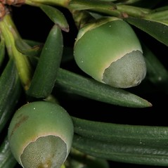 Fruits: Taxus baccata. ~ By Robert Vid_ki. ~ Copyright © 2017 CC BY-NC 3.0. ~  ~ Bugwood - www.bugwood.org/