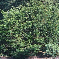 Plant form: Taxus baccata. ~ By Arnold Arboretum. ~ Copyright © 2018 Arnold Arboretum. ~ Arnold Arboretum Horticultural Library, hortlib[at]arnarb.harvard.edu