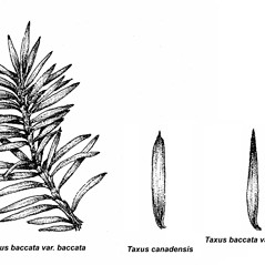 Comparison: Taxus baccata. ~ By Elizabeth Farnsworth. ~ Copyright © 2019 New England Wild Flower Society. ~ Image Request, images[at]newenglandwild.org