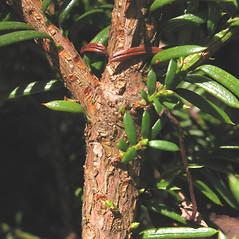 Bark: Taxus canadensis. ~ By Marilee Lovit. ~ Copyright © 2017 Marilee Lovit. ~ lovitm[at]gmail.com