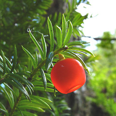 Fruits: Taxus canadensis. ~ By Donna Kausen. ~ Copyright © 2020 Donna Kausen. ~ 33 Bears Den, Addison, ME 04606