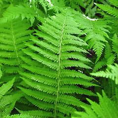 Plant form: Parathelypteris noveboracensis. ~ By Glen Mittelhauser. ~ Copyright © 2018 Glen Mittelhauser. ~ www.mainenaturalhistory.org