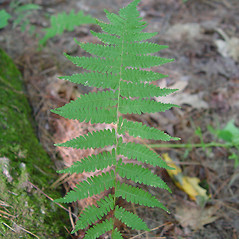 Leaf: Parathelypteris noveboracensis. ~ By Arthur Haines. ~ Copyright © 2018. ~ arthurhaines[at]wildblue.net