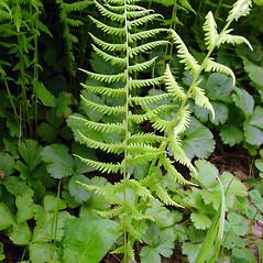 Leaf: Parathelypteris noveboracensis. ~ By Glen Mittelhauser. ~ Copyright © 2019 Glen Mittelhauser. ~ www.mainenaturalhistory.org