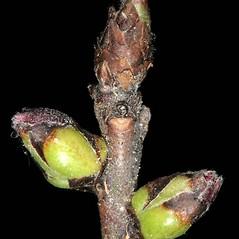 Winter buds: Daphne mezereum. ~ By Robert Vid_ki. ~ Copyright © 2017 CC BY-NC 3.0. ~  ~ Bugwood - www.bugwood.org/
