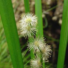 Flowers: Sparganium americanum. ~ By Glen Mittelhauser. ~ Copyright © 2018 Glen Mittelhauser. ~ www.mainenaturalhistory.org