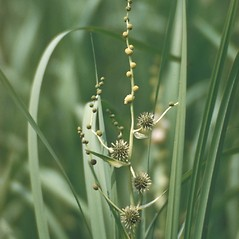 Inflorescences: Sparganium americanum. ~ By George Lienau. ~ Copyright © 2019 New England Wild Flower Society. ~ Image Request, images[at]newenglandwild.org
