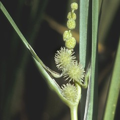 Inflorescences: Sparganium americanum. ~ By John Lynch. ~ Copyright © 2019 New England Wild Flower Society. ~ Image Request, images[at]newenglandwild.org