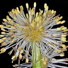 Flowers: Sparganium emersum. ~ By Gerry Carr. ~ Copyright © 2020 Gerry Carr. ~ gdcarr[at]comcast.net ~ Oregon Flora Image Project - www.botany.hawaii.edu/faculty/carr/ofp/ofp_index.htm