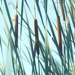Leaves and auricles: Typha angustifolia. ~ By John Lynch. ~ Copyright © 2018 New England Wild Flower Society. ~ Image Request, images[at]newenglandwild.org