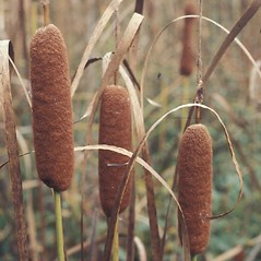 Flowers and fruits: Typha latifolia. ~ By Dorothy Long. ~ Copyright © 2019 New England Wild Flower Society. ~ Image Request, images[at]newenglandwild.org