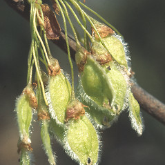Fruits: Ulmus americana. ~ By John Lynch. ~ Copyright © 2019 New England Wild Flower Society. ~ Image Request, images[at]newenglandwild.org