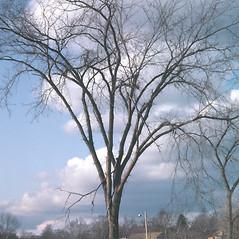 Plant form: Ulmus americana. ~ By Carol Levine. ~ Copyright © 2017 Carol Levine. ~ carolflora[at]optonline.net
