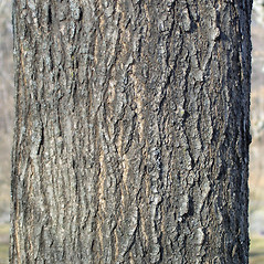 Bark: Ulmus glabra. ~ By Bruce Patterson. ~ Copyright © 2019 Bruce Patterson. ~ foxpatterson[at]comcast.net